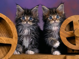 3243113-maine-coon (1)